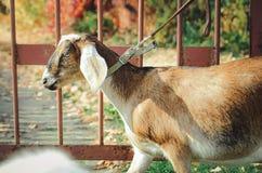 Англо-Nubian коза, конец-вверх стоковое изображение