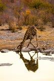 Ангольский жираф выпивая на waterhole в национальном парке Etosha Стоковая Фотография RF