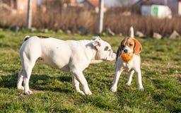 Английская собака бульдога и бигля Стоковая Фотография RF