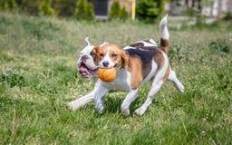 Английская собака бульдога и бигля Стоковые Изображения RF