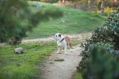 Английская собака бульдога на лесе внушительном стоковая фотография