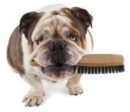 Английская собака бульдога сидит с щеткой в его рте Стоковые Изображения RF