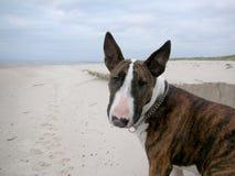 Английская собака терьера быка на пляже Стоковые Фотографии RF