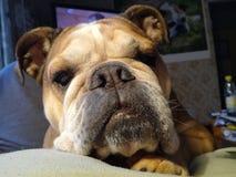 Английские животные собаки dos engkisbulldog бульдога животные Стоковые Фото