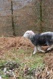 Английские овцы животных района озера стоковая фотография