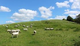 английские пася овцы ландшафта сельские Стоковое Фото