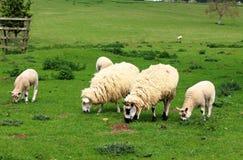 английские пася овцы ландшафта сельские Стоковое фото RF