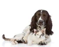 Английские собака и котенок Spaniel кокерспаниеля совместно Стоковая Фотография