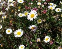 Английские цветки маргаритки стоковые изображения rf