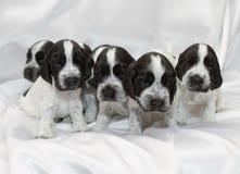 Английские щенята spaniel кокерспаниеля Стоковое Изображение RF