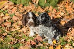 Английские щенята spaniel кокерспаниеля Стоковое Фото