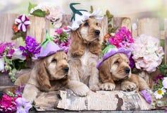 Английские щенята spaniel кокерспаниеля Стоковое фото RF