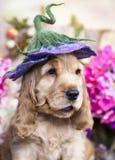 Английские щенята spaniel кокерспаниеля Стоковые Фотографии RF