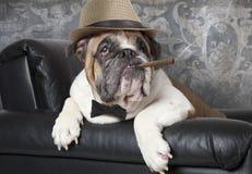 Английский бульдог с сигарой Стоковое Изображение
