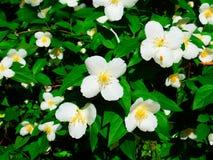 Английский кизил в цветени Стоковые Изображения