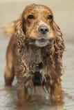 Английский конец щенка собаки spaniel кокерспаниеля вверх по портрету Стоковая Фотография RF