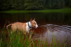 Английский красный терьер быка в озере Стоковая Фотография
