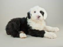 английский старый sheepdog щенка стоковое изображение rf