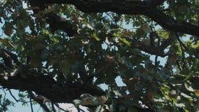 Английский дуб на предпосылке неба и облаков сток-видео