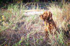 Английский Spaniel кокерспаниеля пряча в кусте пока охотящся Стоковое фото RF