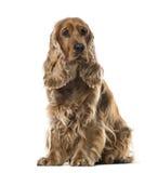 Английское усаживание Spaniel кокерспаниеля, 2 года старого Стоковая Фотография