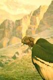 андийский кондор на NHM New York Стоковое Изображение