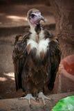 андийский кондор Стоковые Изображения