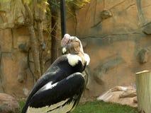 андийский кондор Стоковая Фотография