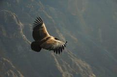 андийский кондор Стоковая Фотография RF