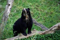 Андийский медведь большинств редкий медведь мира Стоковая Фотография