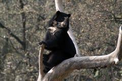 андийский медведь Стоковая Фотография RF