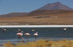 Андийский фламинго в Laguna Колорадо стоковые изображения