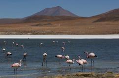 Андийский фламинго в Laguna Колорадо стоковые изображения rf