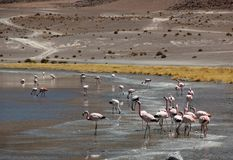 Андийский фламинго в Laguna Колорадо стоковая фотография rf