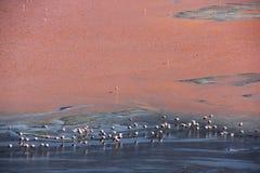 Андийский фламинго в Laguna Колорадо стоковое изображение rf