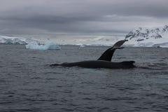 Антарктика - киты стоковая фотография