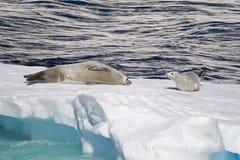 Антарктика - уплотнения на ледяном поле Стоковые Изображения RF