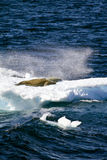 Антарктика - уплотнения на части плавая льда Стоковые Фото