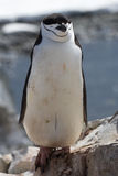 Антартический пингвин который стоит на утесах с глазами закрыл Стоковое Изображение
