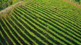 Антенна виноградника сток-видео
