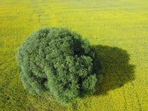Антенна дерева вербы в желтом поле Стоковые Фото
