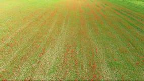 Антенна: летающ над красными лугами маков, занятие земледелия, взгляд сочных зеленых красных полей, countr верхней части вниз обр акции видеоматериалы