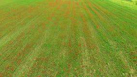 Антенна: летающ над красными лугами маков, занятие земледелия, взгляд сочных зеленых красных полей, countr верхней части вниз обр видеоматериал