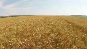 Антенна пшеничного поля видеоматериал