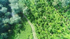 Антенна стрельбы, ферма кофе, кофе Arabica ранга, реальная кофейная плантация Фермер идет к собирает кофейные зерна сток-видео