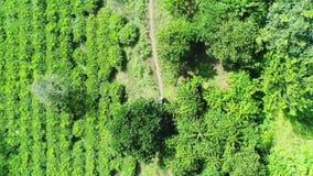 Антенна стрельбы, ферма кофе, кофе Arabica ранга, реальная кофейная плантация Фермер идет к собирает кофейные зерна акции видеоматериалы