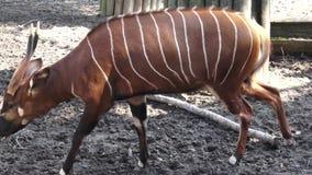 Антилопа бонго сток-видео