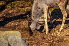 Антилопа гну в парке Стоковые Изображения