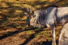 Антилопа гну в парке Стоковое Изображение RF