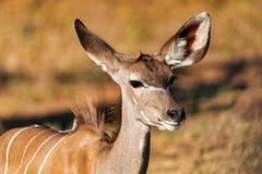 Антилопа женское Kudu, Chobe, Ботсвана Стоковые Изображения RF